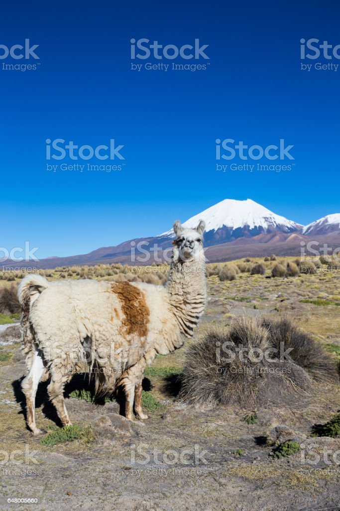 The Andean landscape with Prinacota volcano, Bolivia stock photo