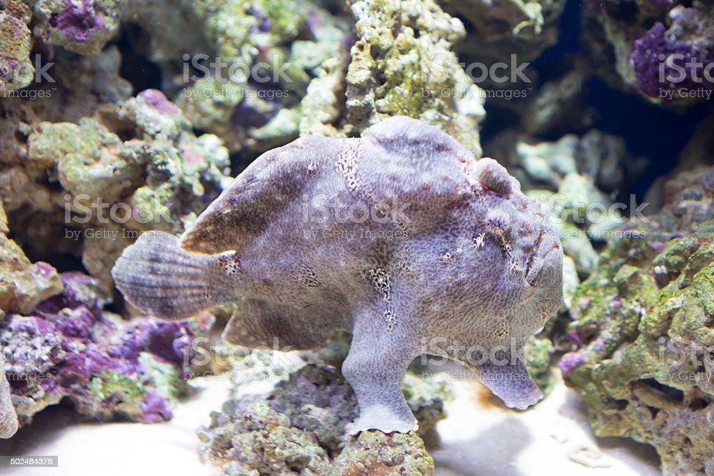 The Angler Fish stock photo