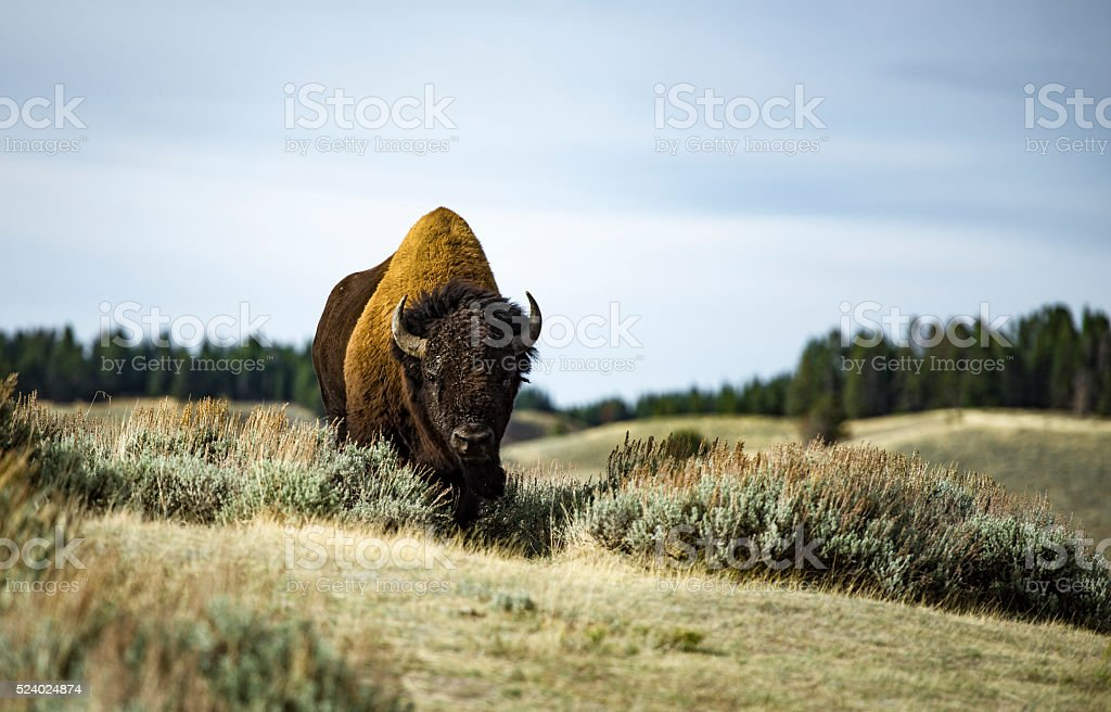 The angry Bison stock photo