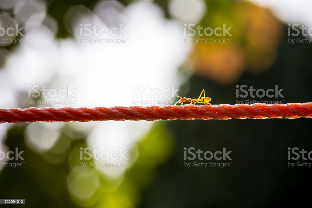 the ant walking on red rope stock photo