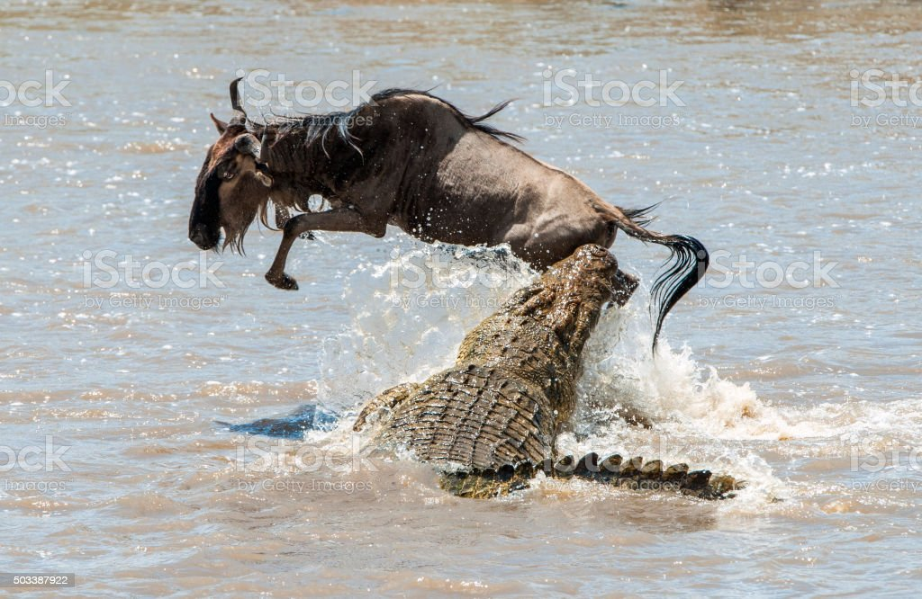 The antelope Blue wildebeest and a crocodile. stock photo