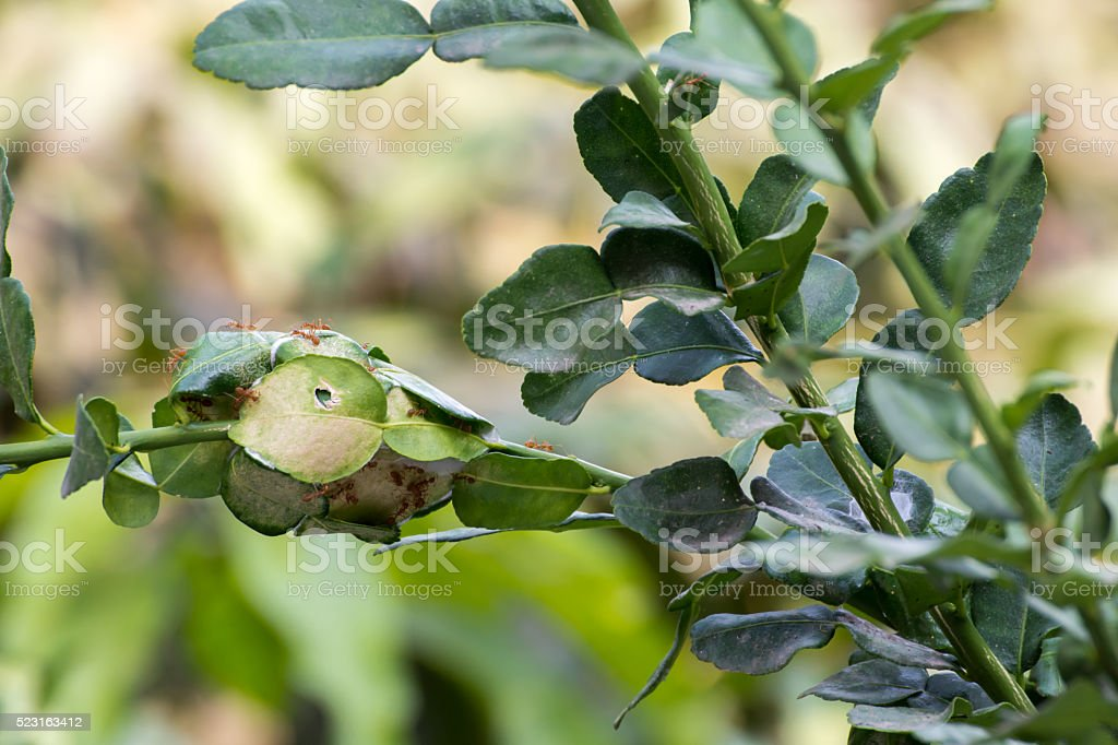 The ants nest on the bergamot tree in background stock photo