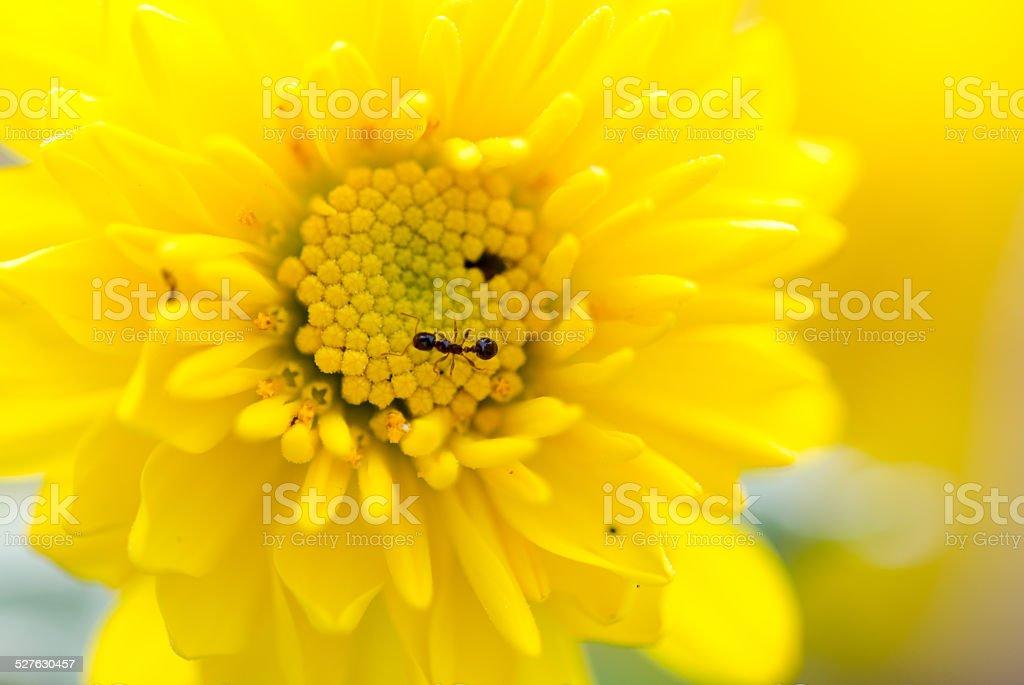 The ants on the chrysanthemum flower stock photo