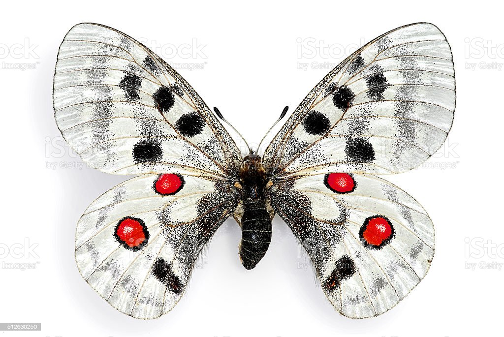 The Apollo (Parnassious apollo), a protected European butterfly stock photo