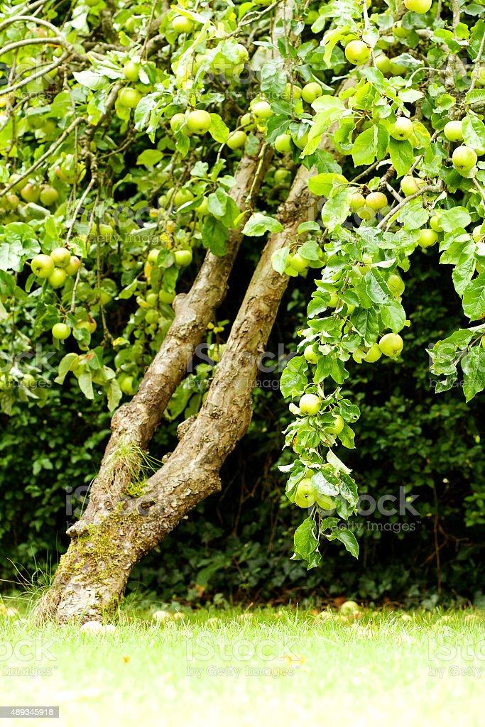 The Apple Tree, England stock photo