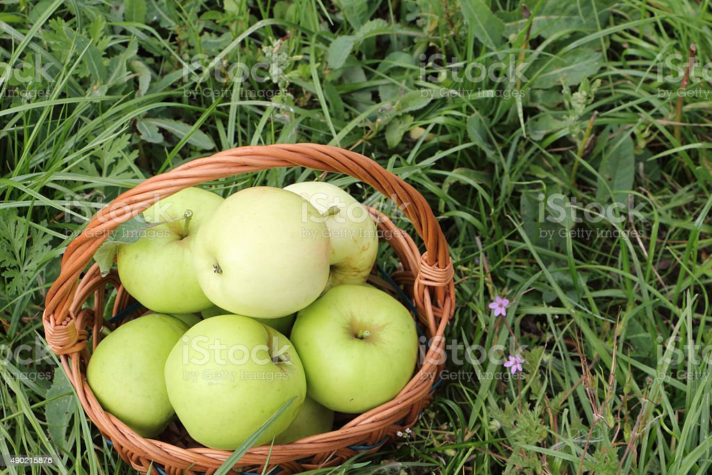The apples lying in a wattled basket  in a garden stock photo