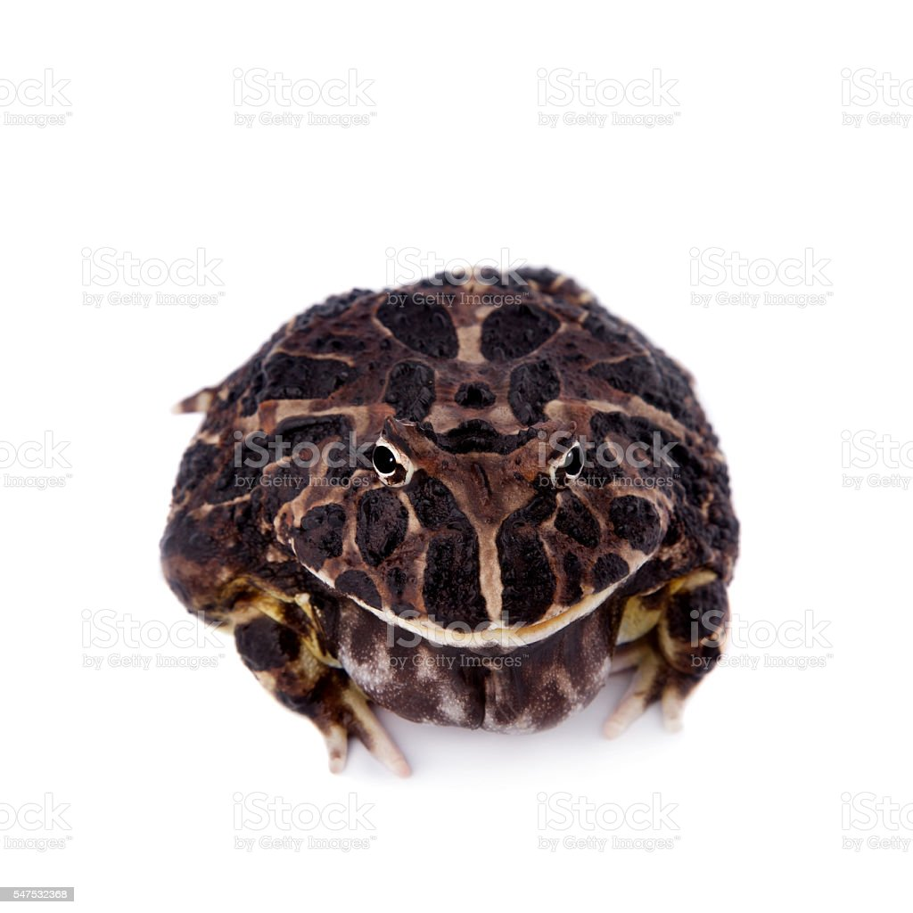 The Argentine horned frog on white stock photo