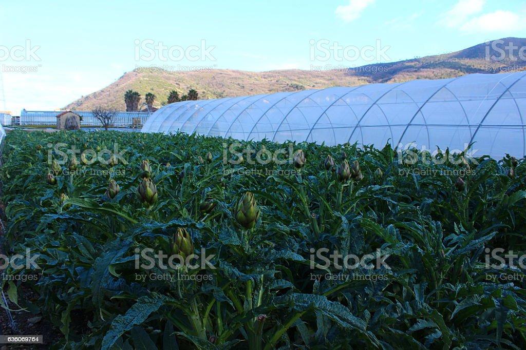 The artichokes of Albenga - Italy stock photo