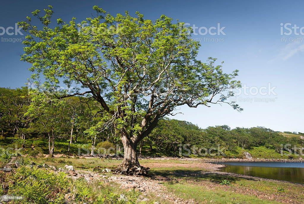 The Ash Tree stock photo