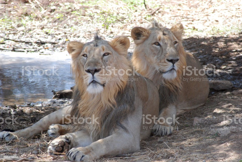 The Asiatic lion (Panthera leo persica) Indian lion stock photo
