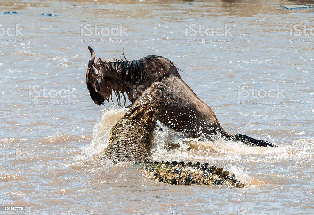 The attack of a crocodile. stock photo