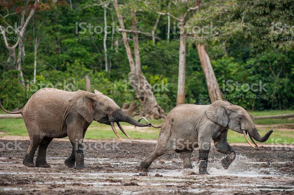 The attacking  Elephant. stock photo