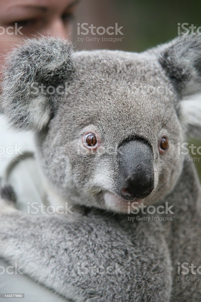 The Aussie Koala royalty-free stock photo