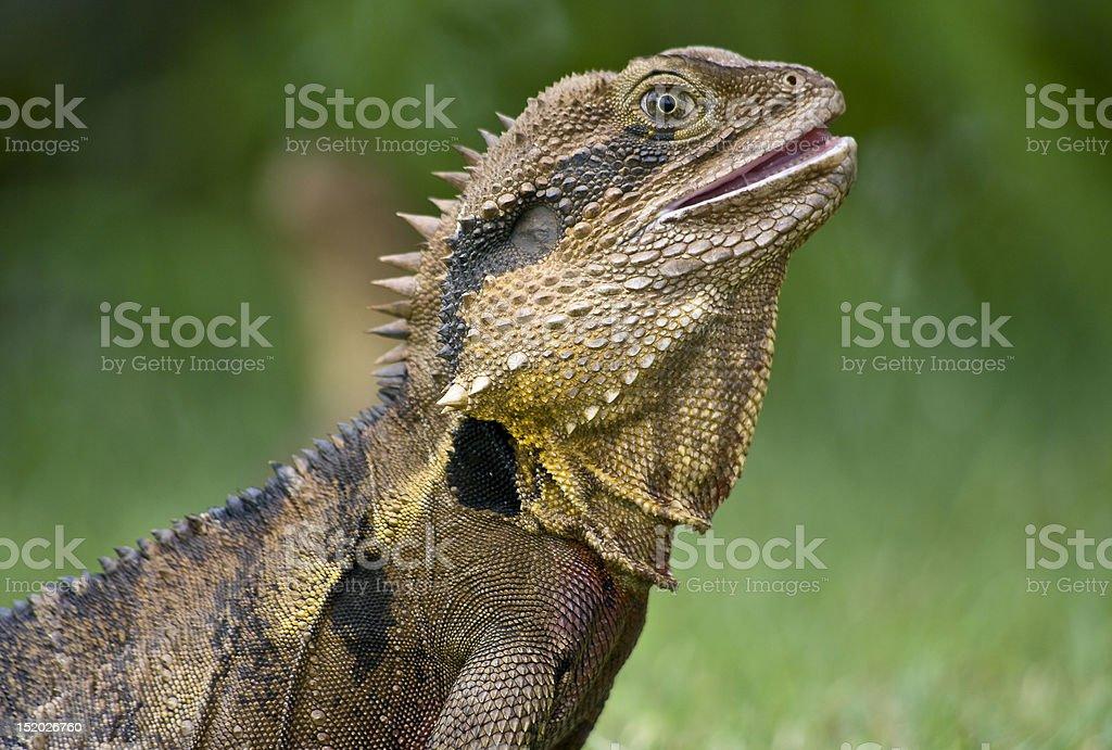 The Australian lizard, Eastern Water Dragon. royalty-free stock photo