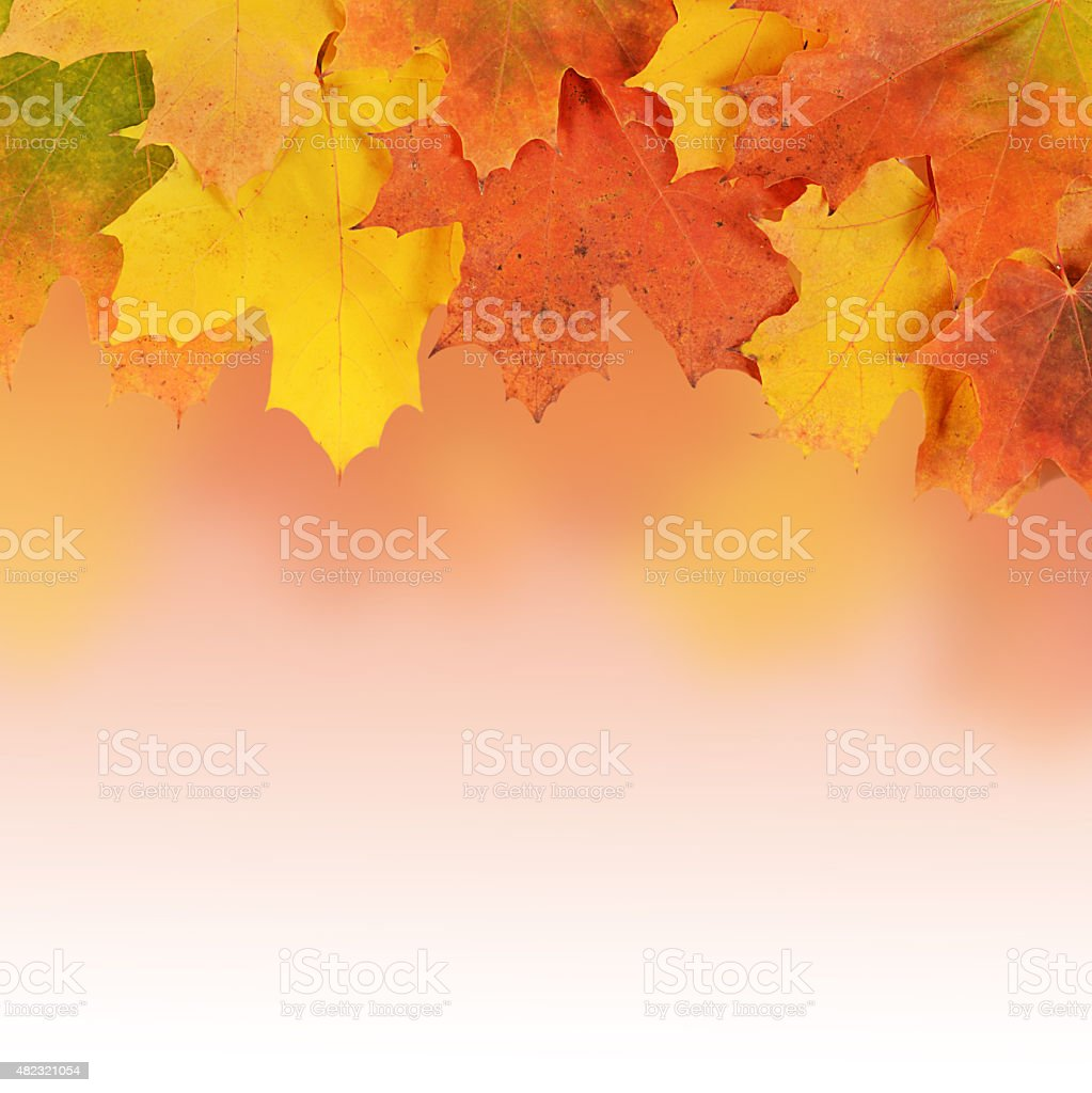 The autumn maple leaves a background stock photo