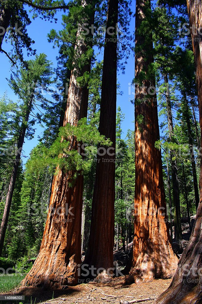The Bachelor and Three Graces, Mariposa Grove royalty-free stock photo