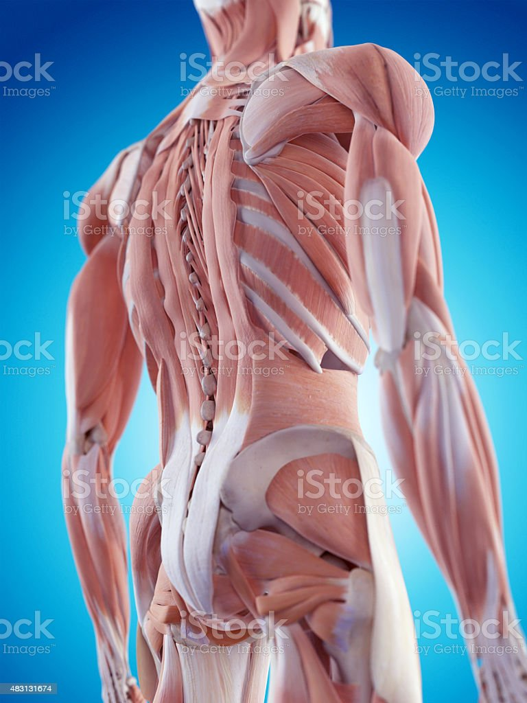 the back muscles stock photo
