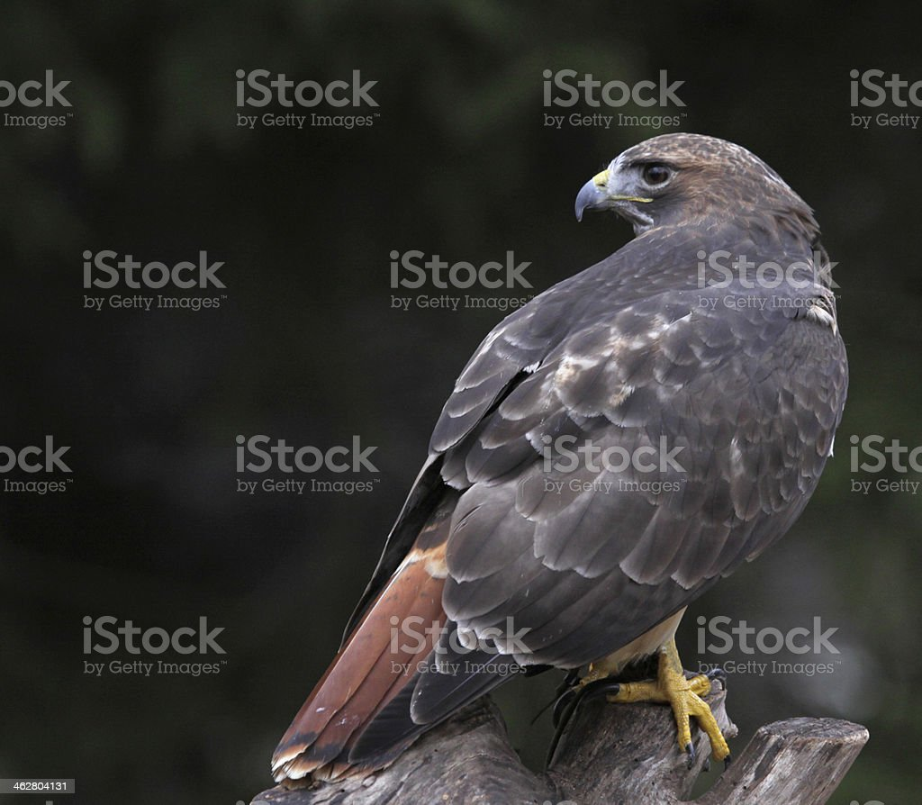 The Back of a Red-tailed Hawk royalty-free stock photo
