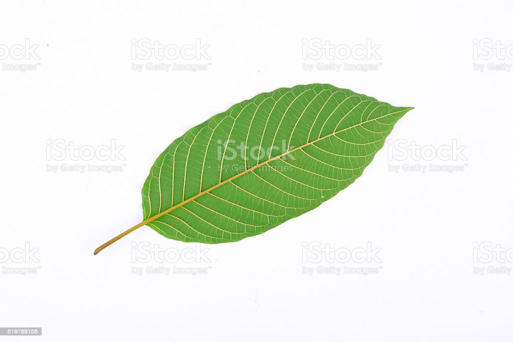 The back of Kratom leaf (Mitragyna speciosa) stock photo