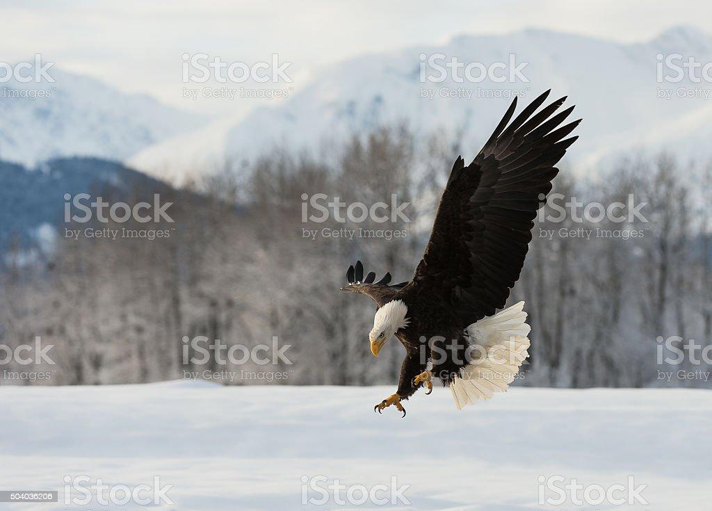 The Bald eagle landed stock photo