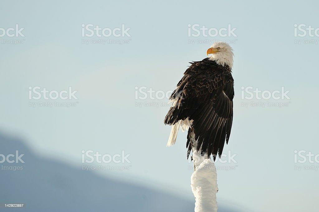 The Bald Eagle (Haliaeetus leucocephalus) stock photo