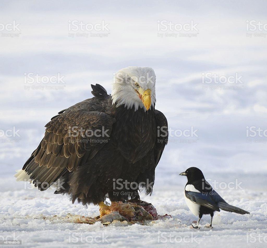 The Bald eagle (Haliaeetus leucocephalus) royalty-free stock photo