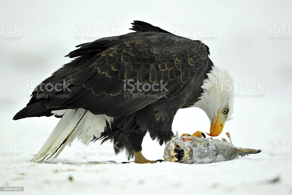 The Bald eagle ( Haliaeetus leucocephalus ) stock photo