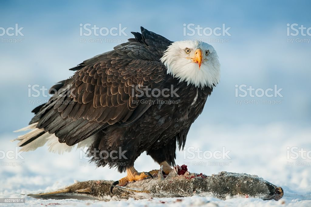 The Bald eagle with a fish. stock photo