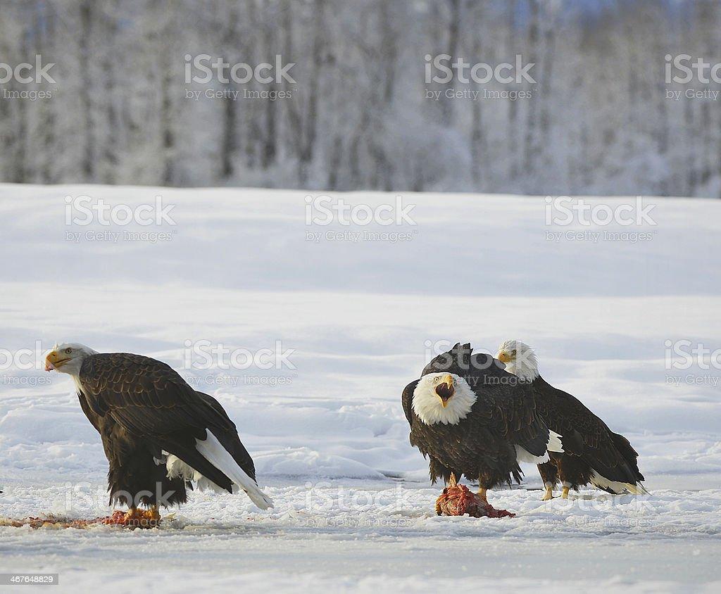 The Bald eagles (Haliaeetus leucocephalus ) royalty-free stock photo