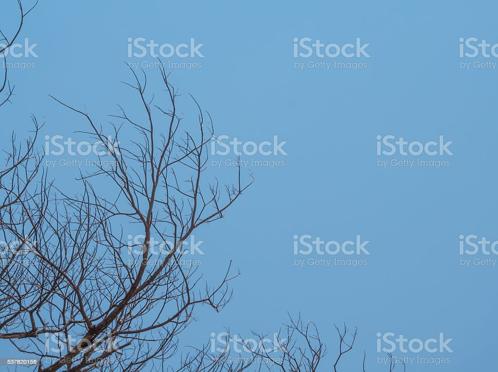 The bald tree with the blue sky background stock photo
