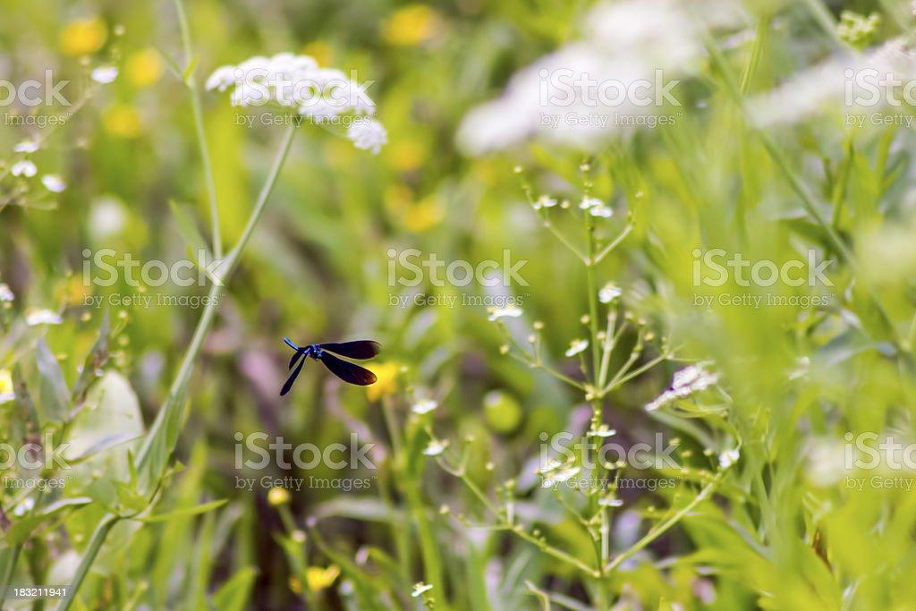 The Banded Demoiselle (Calopteryx splendens) stock photo