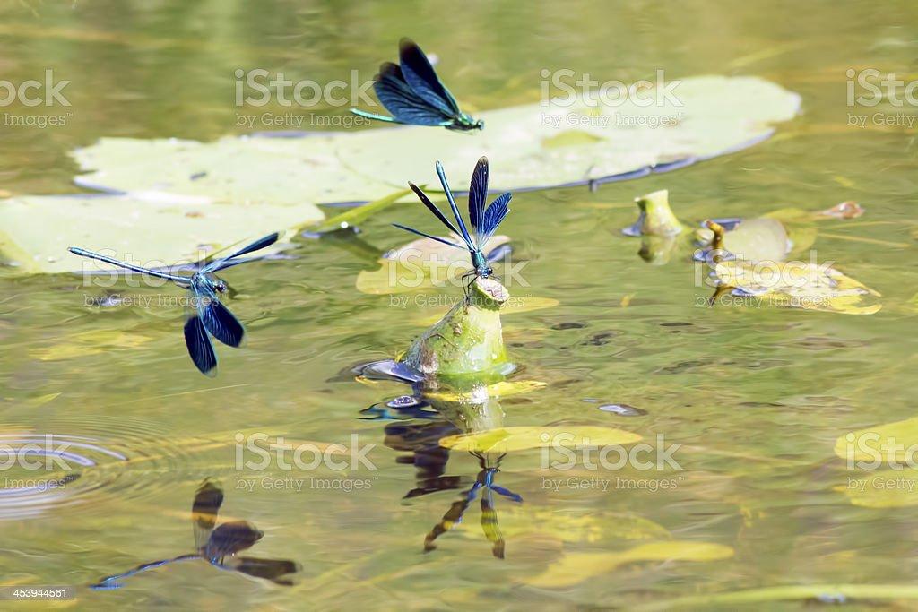 The Banded Demoiselle (Calopteryx splendens) royalty-free stock photo