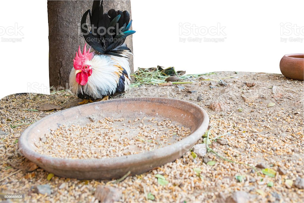 The Bantam with animal feed ,  Chicken stock photo