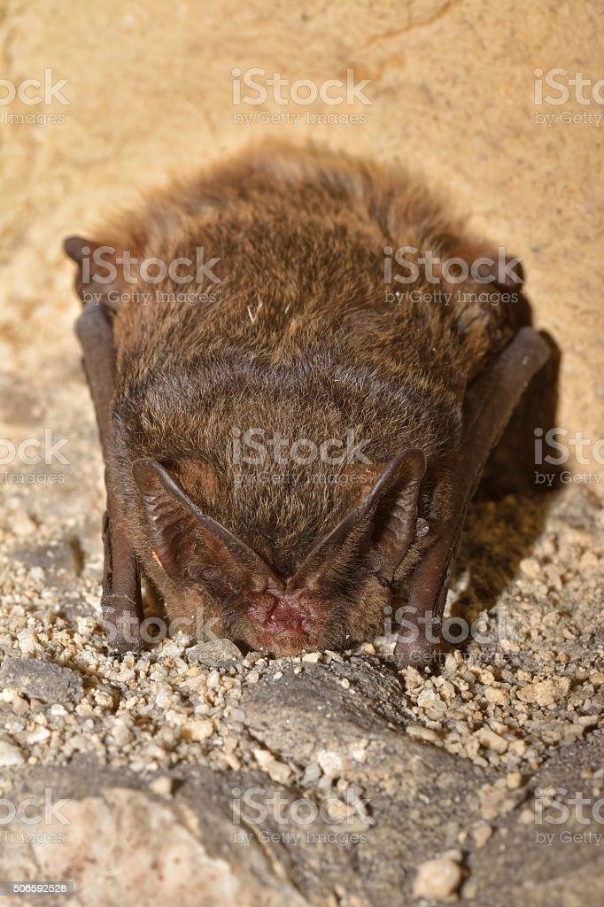 The barbastelle bat stock photo