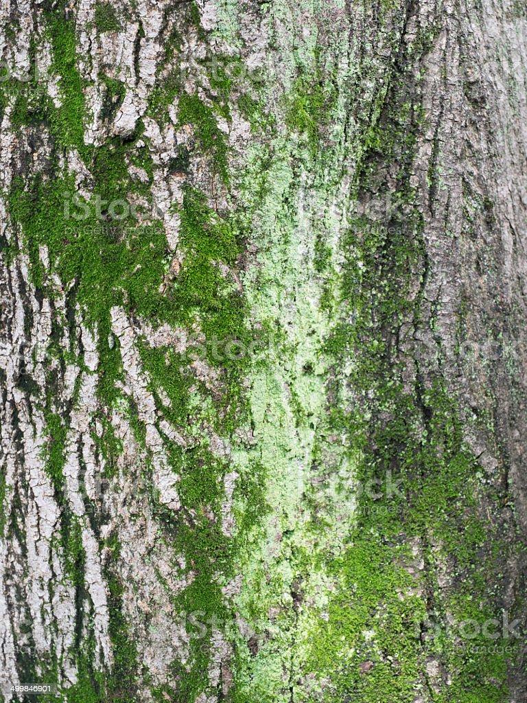 The bark of mossed Japanese maple stock photo