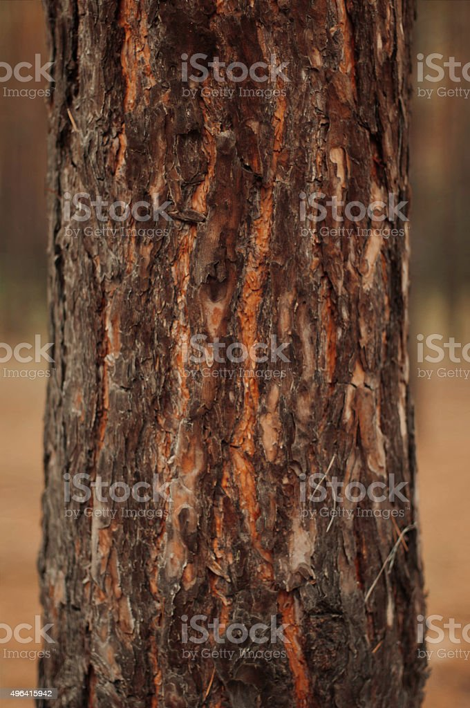 the bark of the pine tree royalty-free stock photo