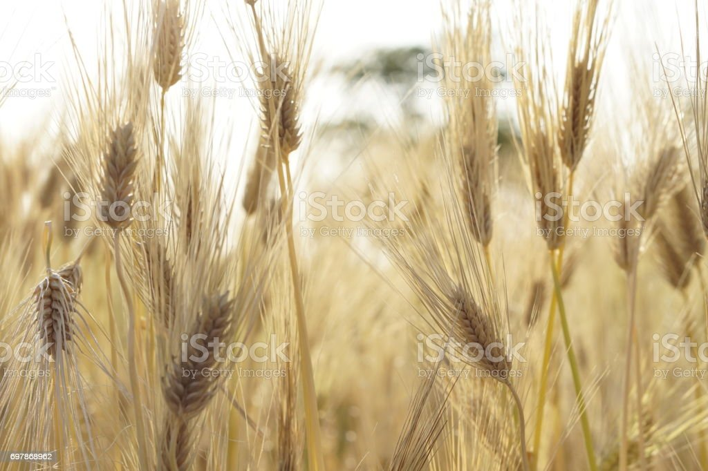 the barley field in summer stock photo