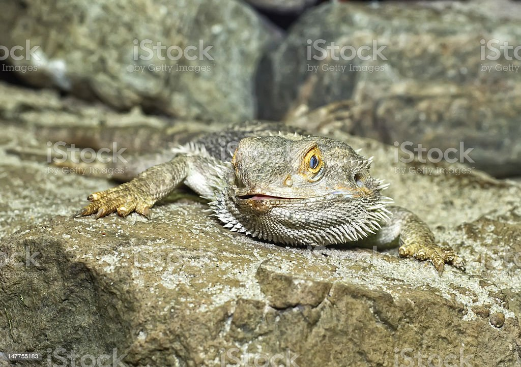 The bearded dragon royalty-free stock photo