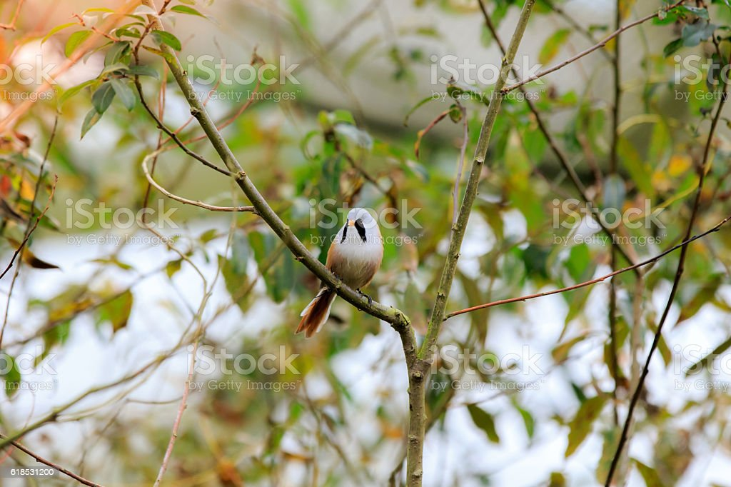 The bearded reedling (Panurus biarmicus) male stock photo