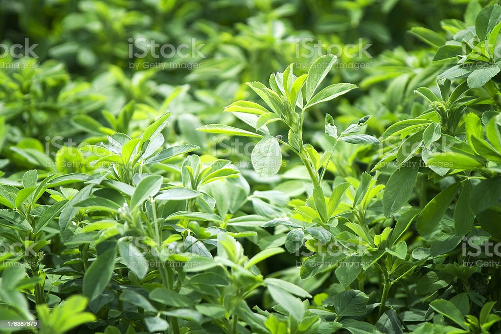The beautiful backdrop of Lucerne (alfalfa) stock photo