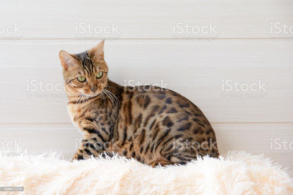 The beautiful Bengal cat on the carpet stock photo