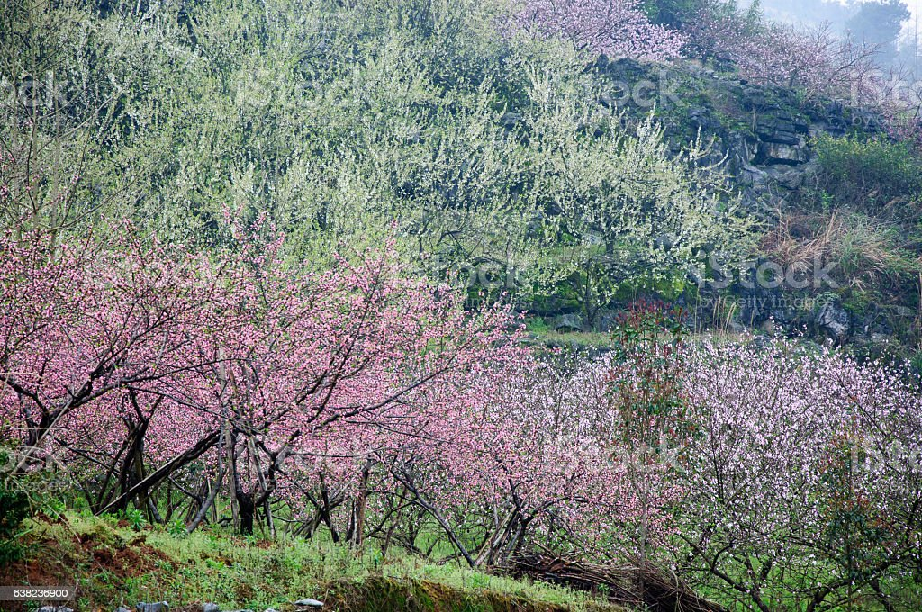 The beautiful blooming peach flowers in the fog stock photo