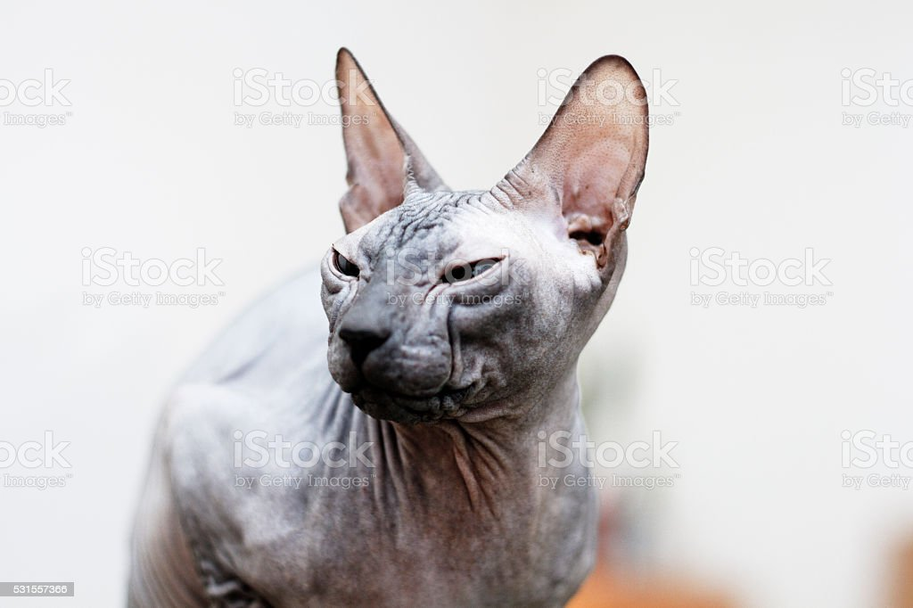 the beautiful but sleepy don sphynx cat resting indoors stock photo