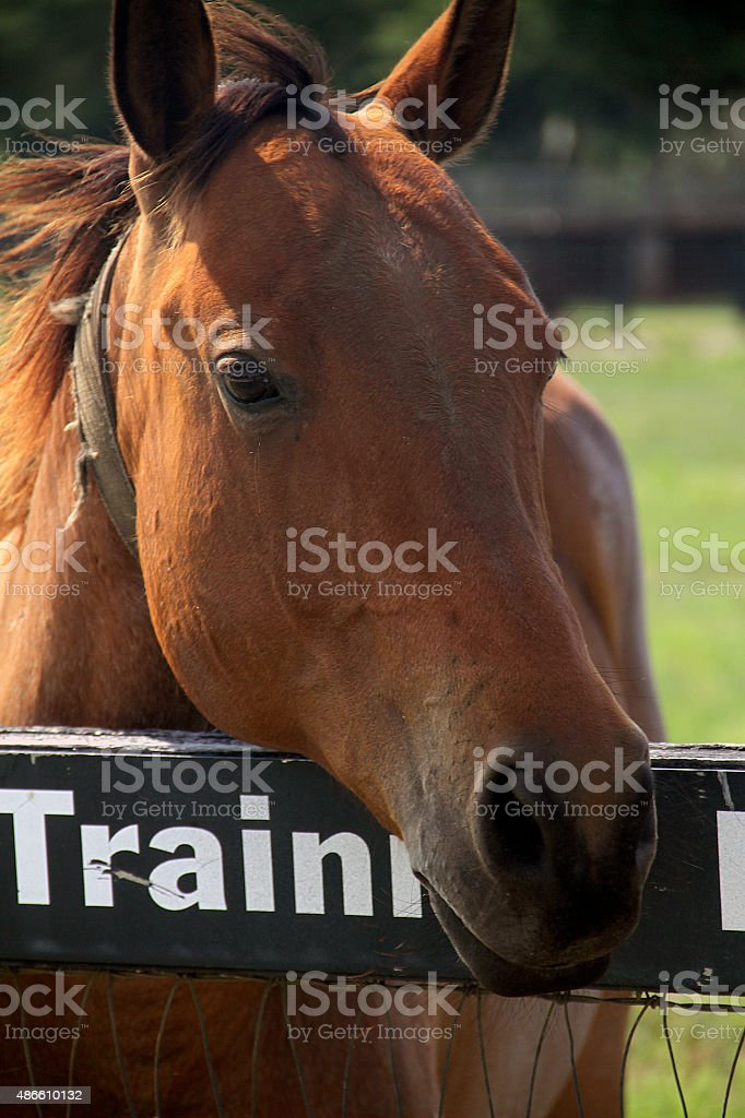 The beautiful eyes of the brown horse ready for training stock photo