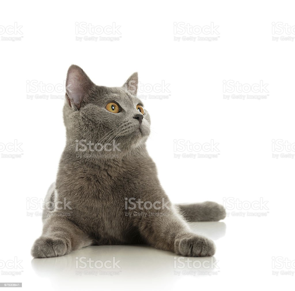 The beautiful grey cat royalty-free stock photo