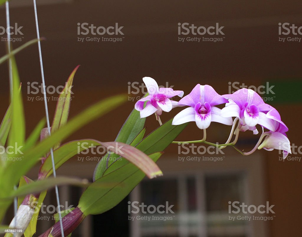 the beautiful orchid stock photo
