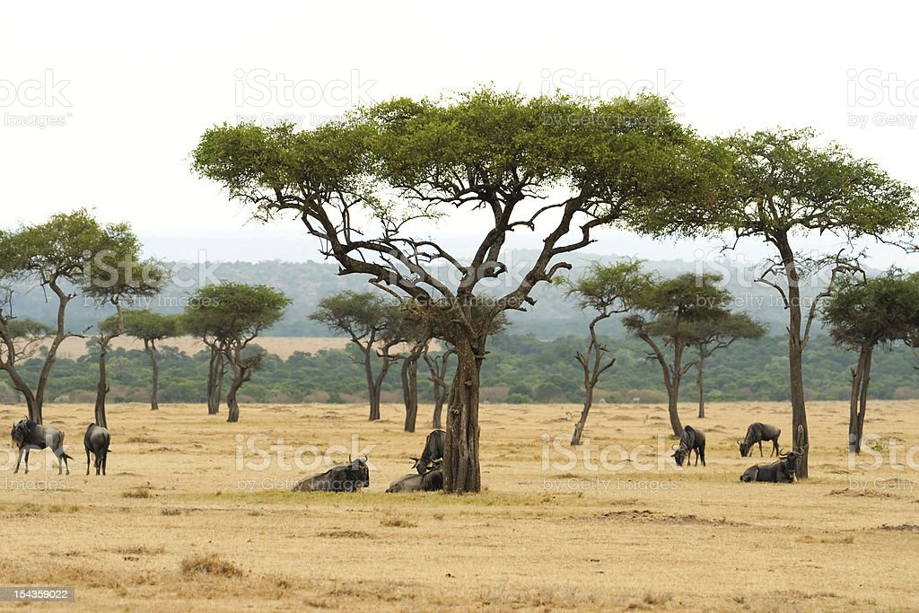 The beautiful plains  in Kenya ,Africa royalty-free stock photo