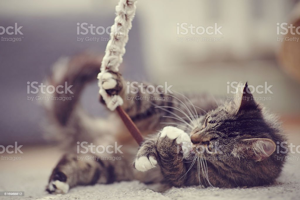 The beautiful striped domestic cat plays stock photo