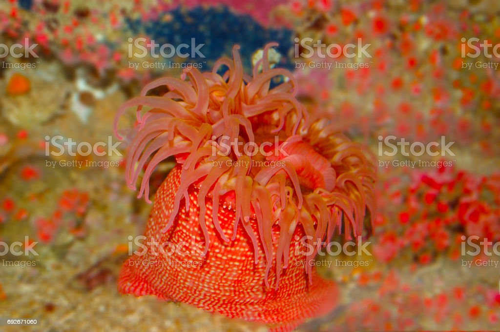 The beautiful White-spotted Rose Anemone stock photo