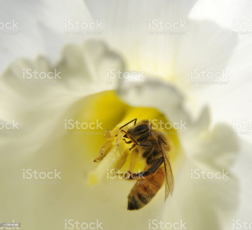 The Beautiful World of a Honey Bee; Close-Up Inside Flower royalty-free stock photo